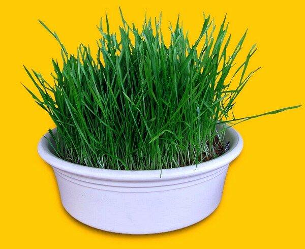 пшеничные проростки
